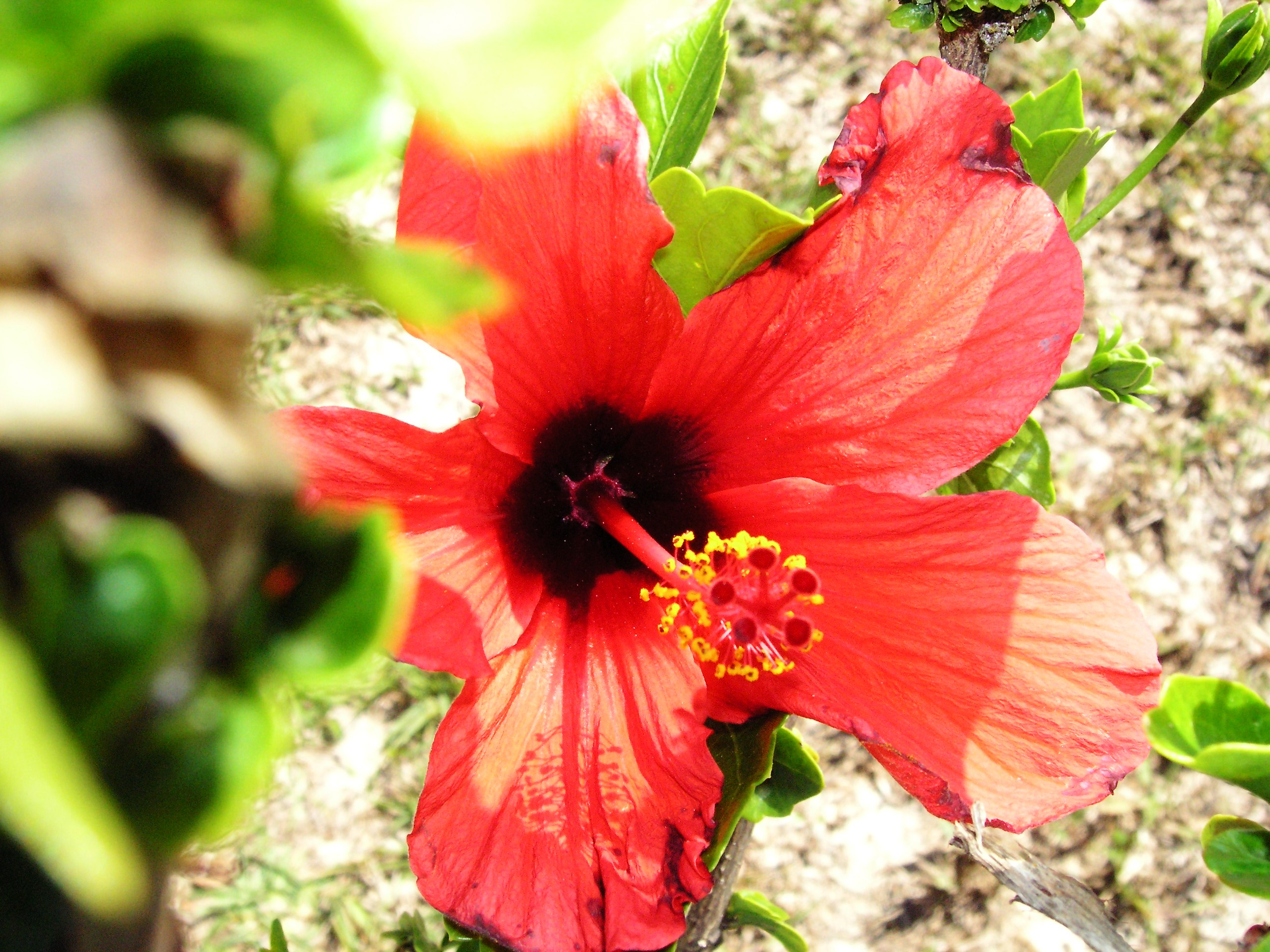 Hibiscus by Laurie Buchanan