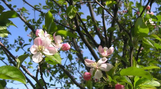 Apple Blossoms by Laurie Buchanan