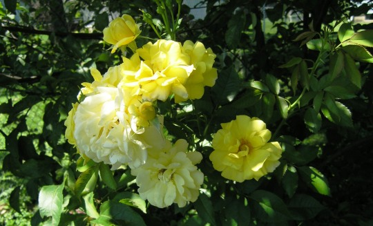 Yellow Roses after Thunderstorm by Laurie Buchanan