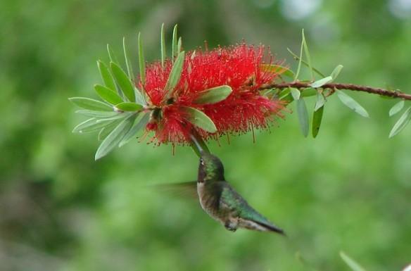 Hummingbird Feeding at Bottlebrush by Laurie Buchanan