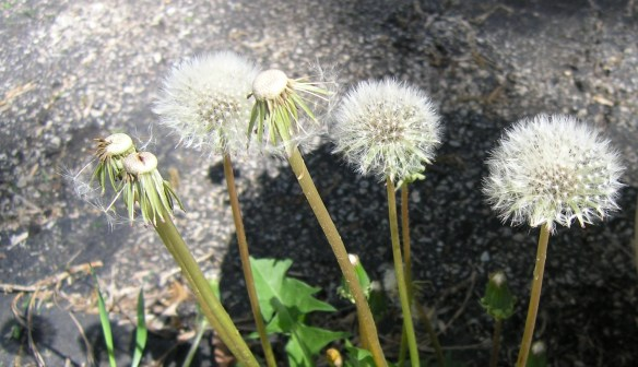 Dandelions quickly mature and turn into puff balls