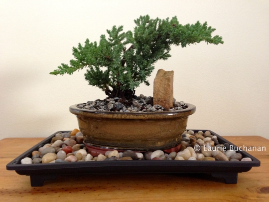 Merry - Japanese Juniper Bonsai